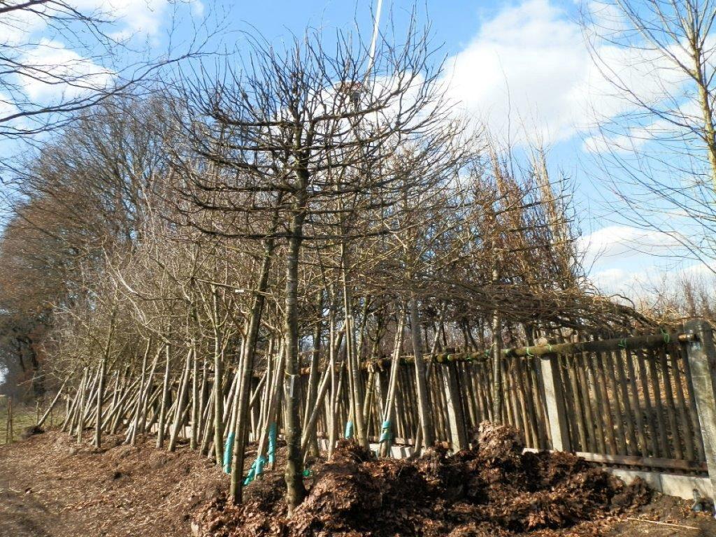 Trigala Armin Trimpe - Gartencenter - Pflanzen - Bäume - Linden im Einschlag