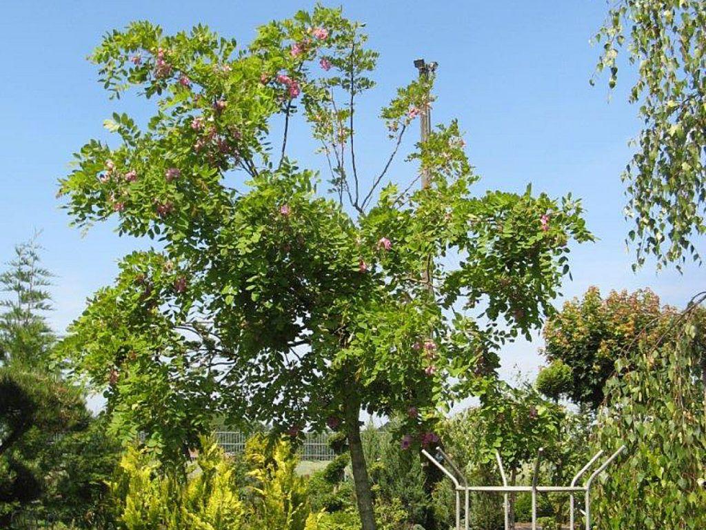 Trigala Armin Trimpe - Gartencenter - Pflanzen - Bäume - Akazie in Blüte