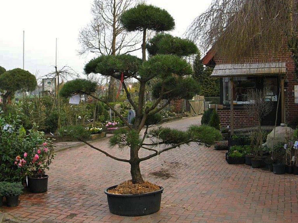 Trigala Armin Trimpe - Gartencenter - Pflanzen - Bäume - Big Bonsai Schwarzkiefer