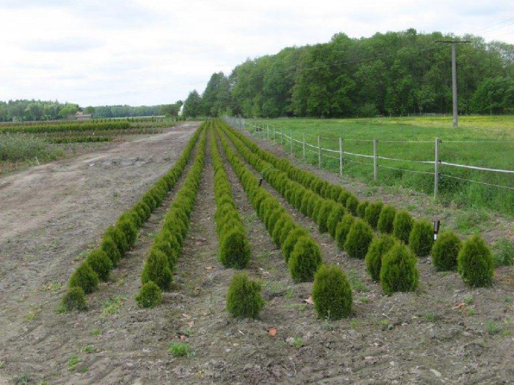 Trigala Armin Trimpe - Gartencenter - Pflanzen - Heckenpflanzen - Lebensbäume