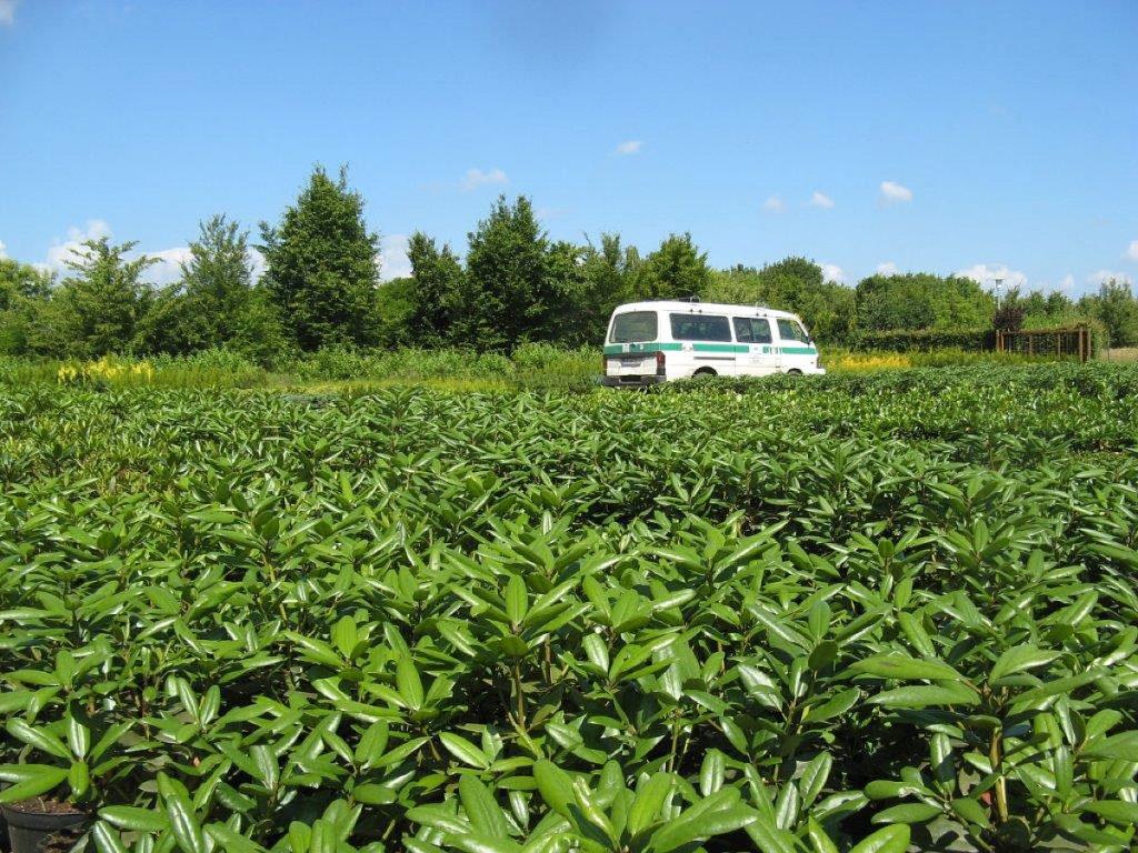 Trigala Armin Trimpe - Gartencenter - Pflanzen - Heckenpflanzen - Rhododendren