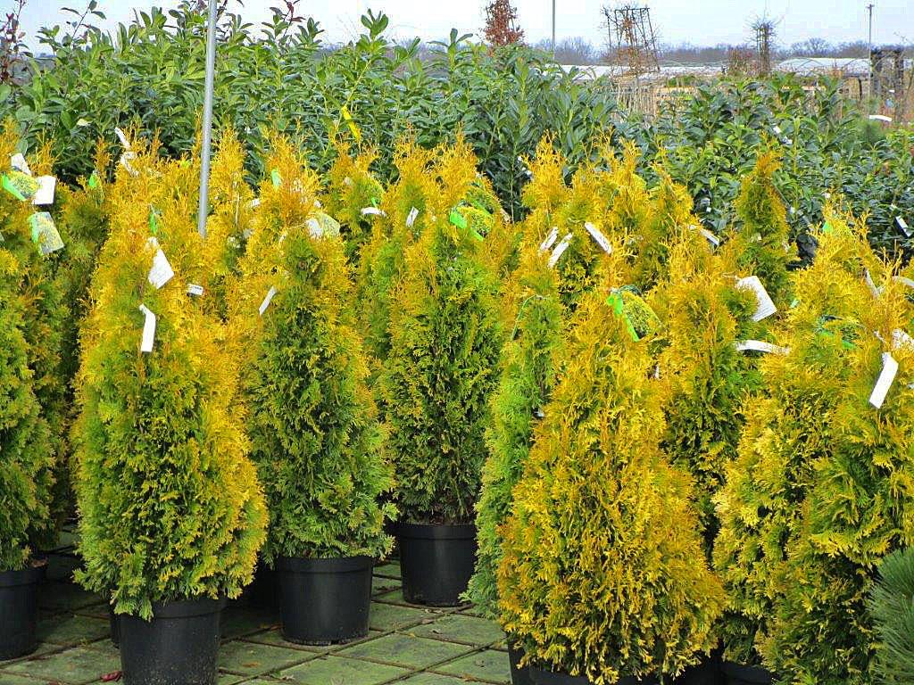 Trigala Armin Trimpe - Gartencenter - gelbe Zypressen