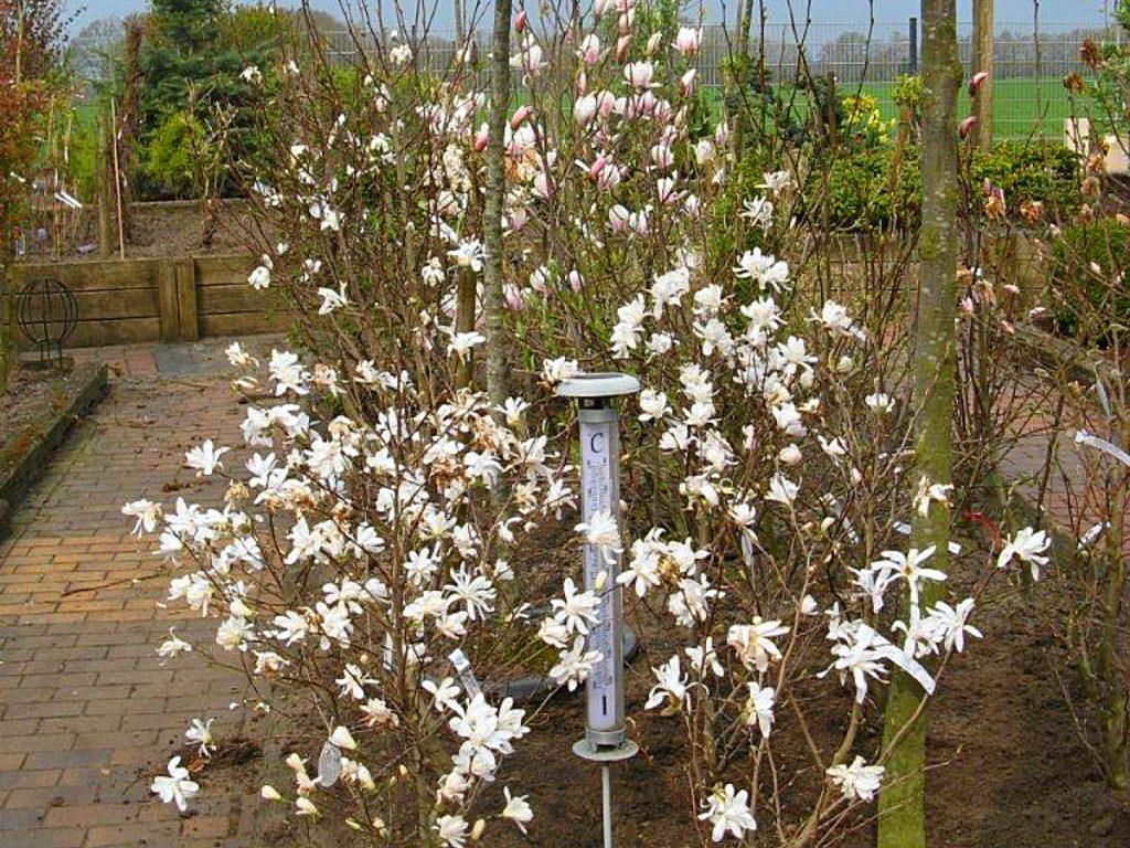 Trigala Armin Trimpe - Gartencenter - Pflanzen - Sträucher - Magnolien