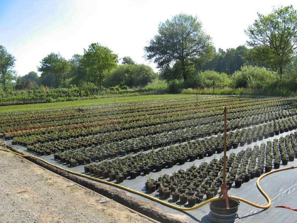 Trigala Armin Trimpe - Gartencenter - Pflanzen - Bodendecker - Anzucht Bodendecker