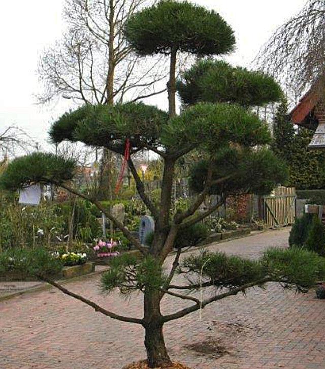 Trigala Armin Trimpe - Pflanzen - Kategoriebild 01
